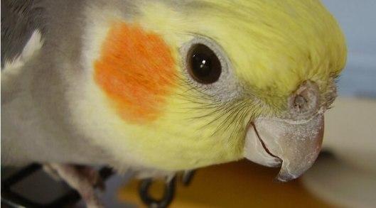 Calopsita-–-Guia-Completo-de-Criação-e-Reprodução-com-Fotos